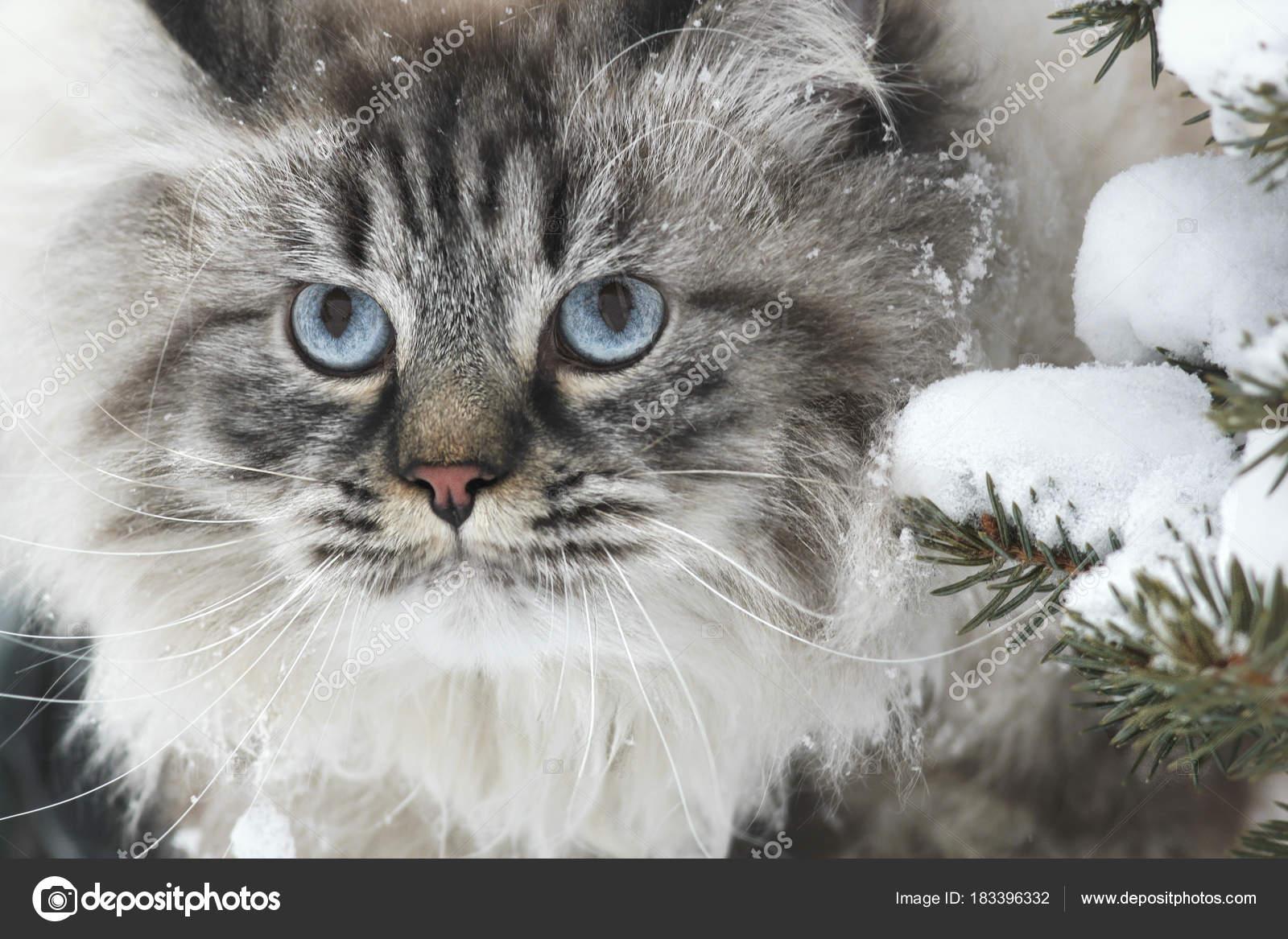 Zdarma velké chlupaté kočička fotky