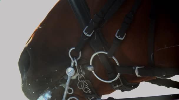 Jízda na koni - koňská tvář v kožených otěžích