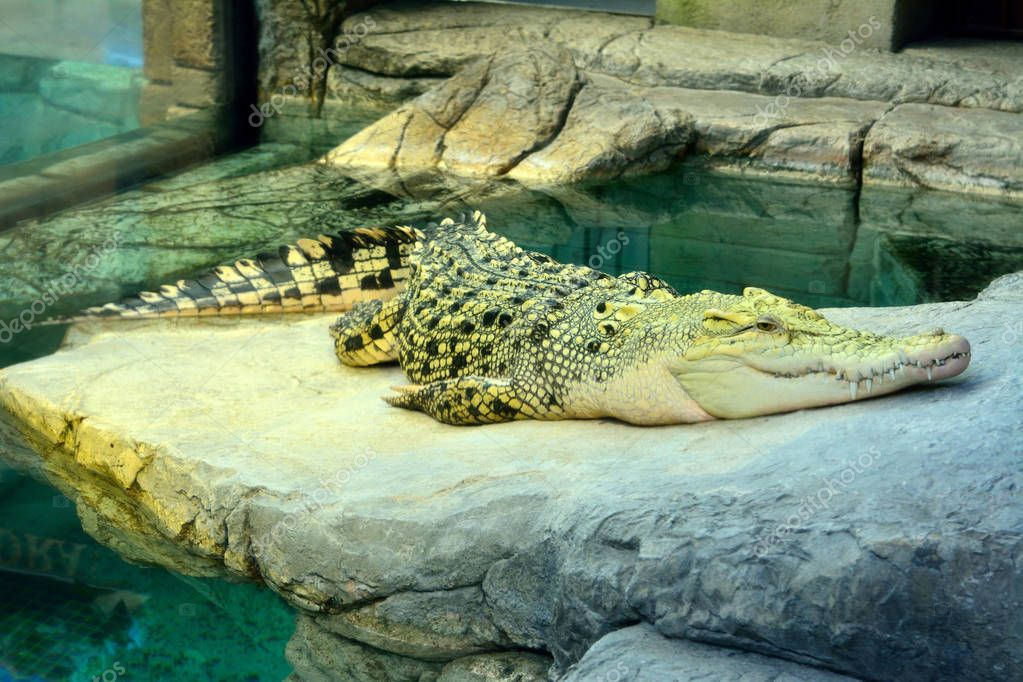 Golden crocodile, a hybrid of Saltwater and Siamese Crocodiles.