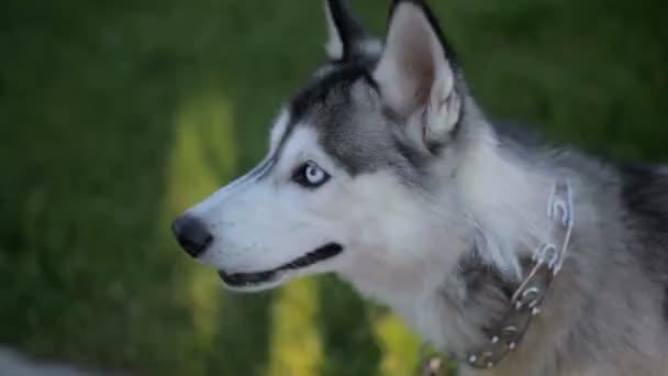 Divertente cane Husky con occhi diversi