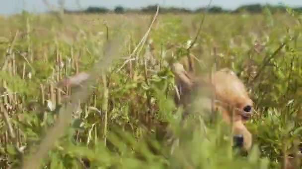 Detail legrační štěňátko čivava pes honí fotoaparát nebo hukot trávě na hřišti na den. Zpomalené akce