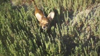 Chihuahua, az első alkalommal egy séta és játék a természet, a zöld fű, kis kölyök