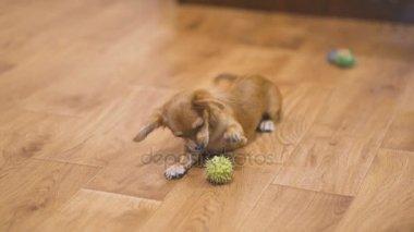 Hosszúszőrű Csivava kutya játszik nagyon vicces zöld gesztenyével. Lassú mozgás