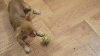 Hosszúszőrű Csivava kutya játszik nagyon vicces zöld gesztenyével