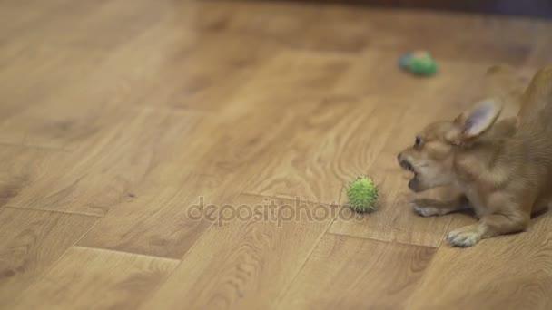 dlouhosrstá čivava pejsek hraje velmi vtipné s zelené kaštany