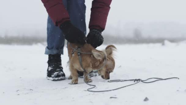 közelről Hosszúszőrű Csivava kutya, egy séta a hideg, havas nap a mező