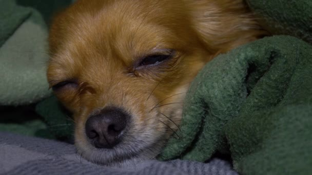 Adorable funny longhair chihuaha dog sleeps on plaid. Very cute pet