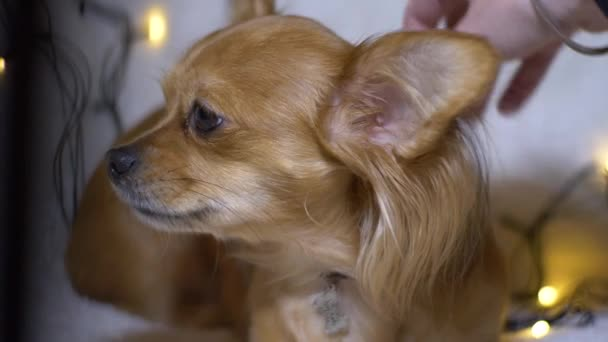 Adorable funny longhair chihuaha dog on plaid. Very cute pet. The owner strokes the dog
