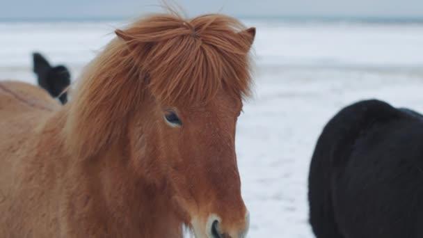 Krásné chlupaté ledové koně. Úžasní islandští koně v zimní sezóně, chlupatí koně adaptovaní na tvrdé islandské klima