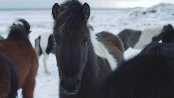 Gyönyörű bolyhos jéglovak. Csodálatos izlandi lovak téli szezonban, szőrös lovak alkalmazkodtak a kemény izlandi éghajlathoz