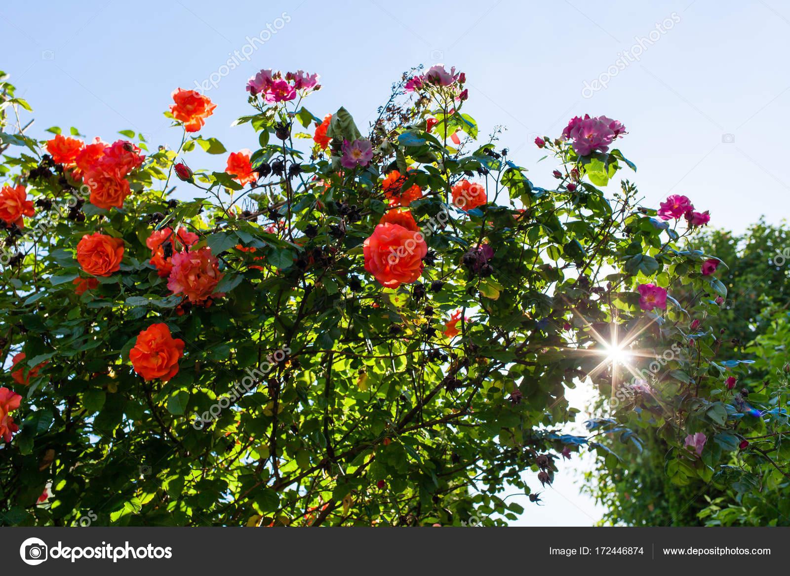 High Quality Piante Di Rose Rosse In Giardino. Mazzo Di Rose Sotto Cielo Blu U2014 Foto Di  Romanlisovy