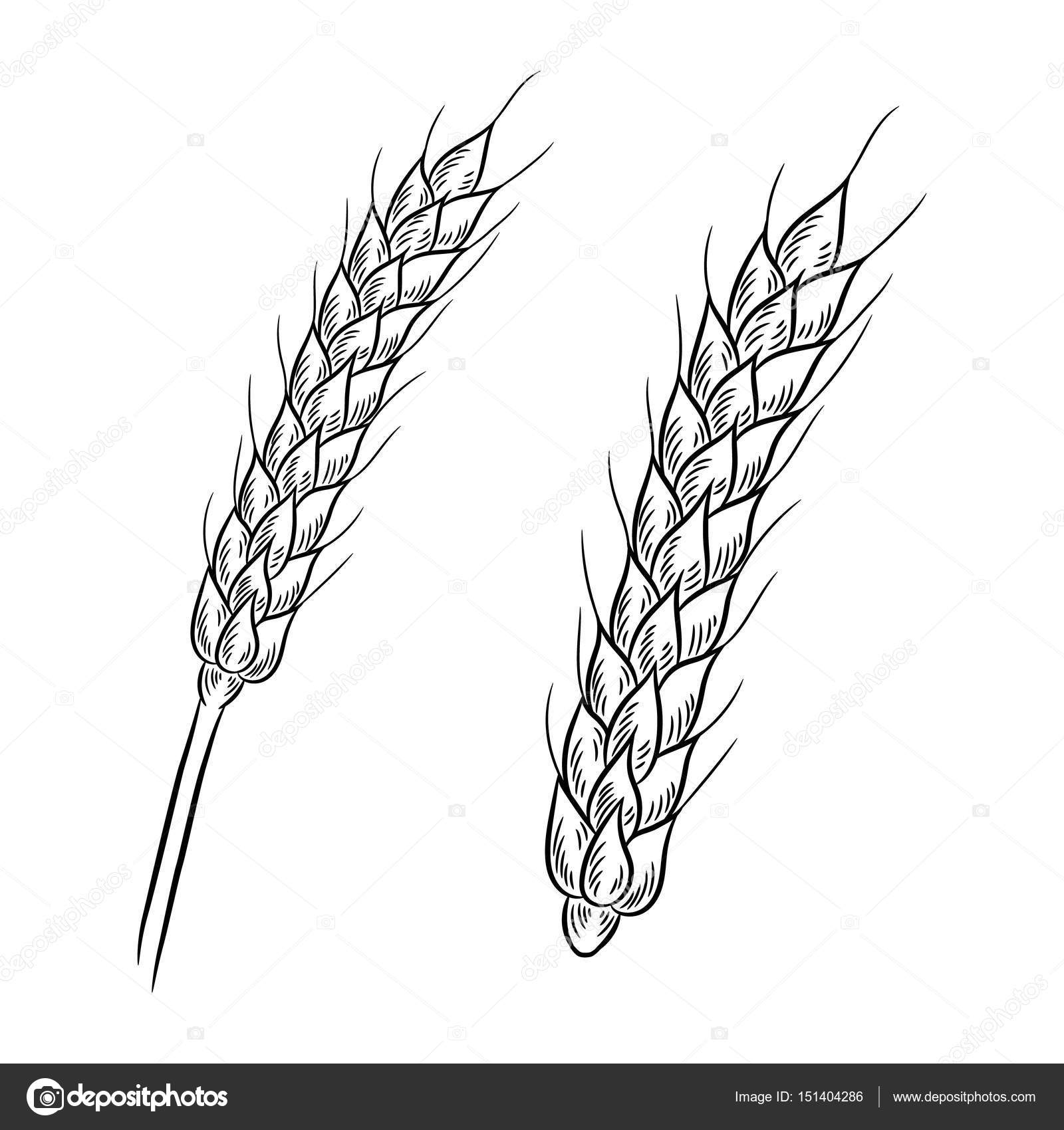 Wheat Drawing Isolated On White Background Stock Vector