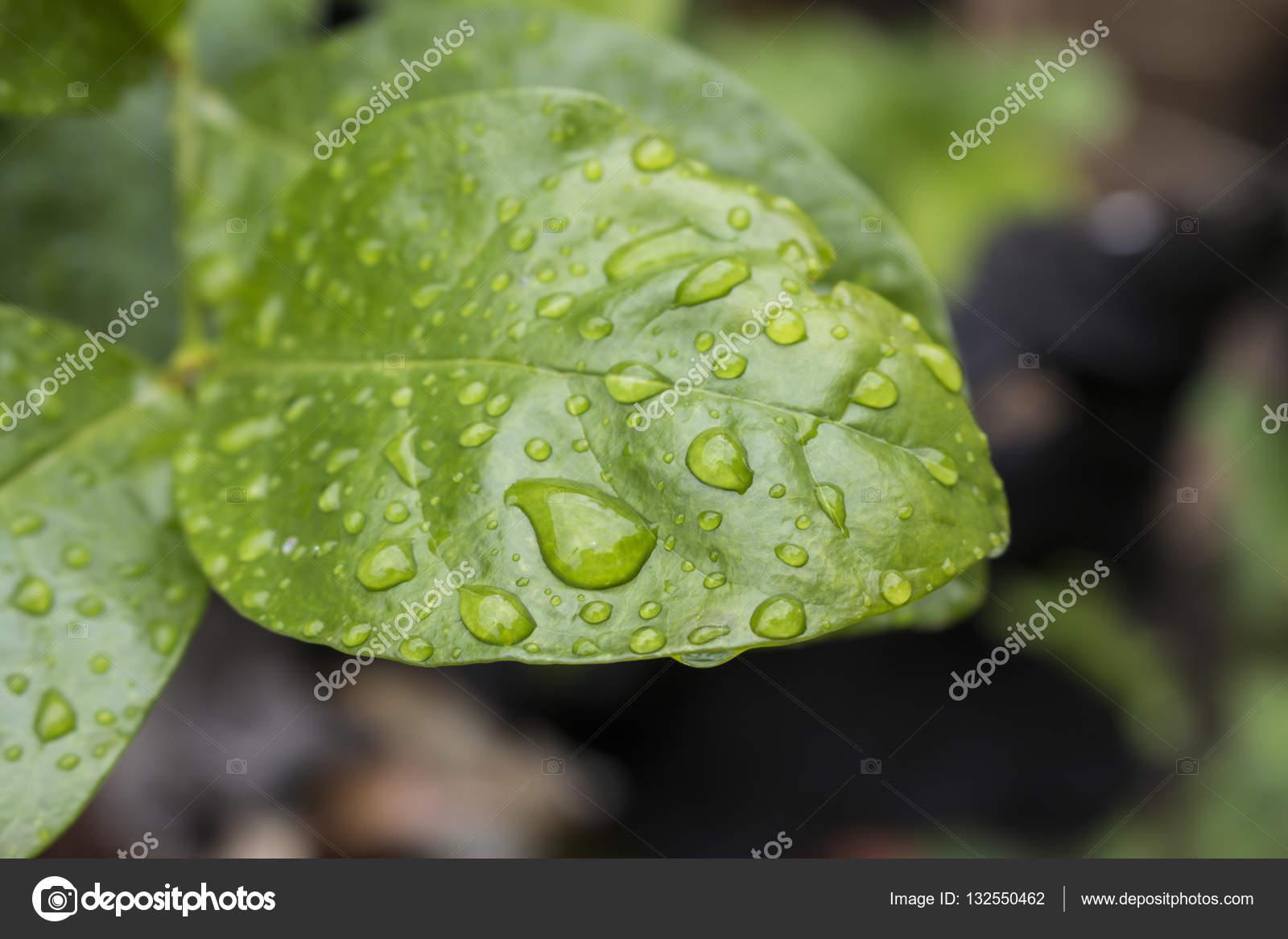 Foglia Verde Con Acqua Scende Per Sfondo Foto Stock Gobba 132550462