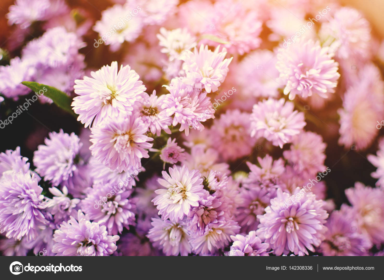 Hipster Chrysanthemum Purple Background Soft Focus Stock Photo
