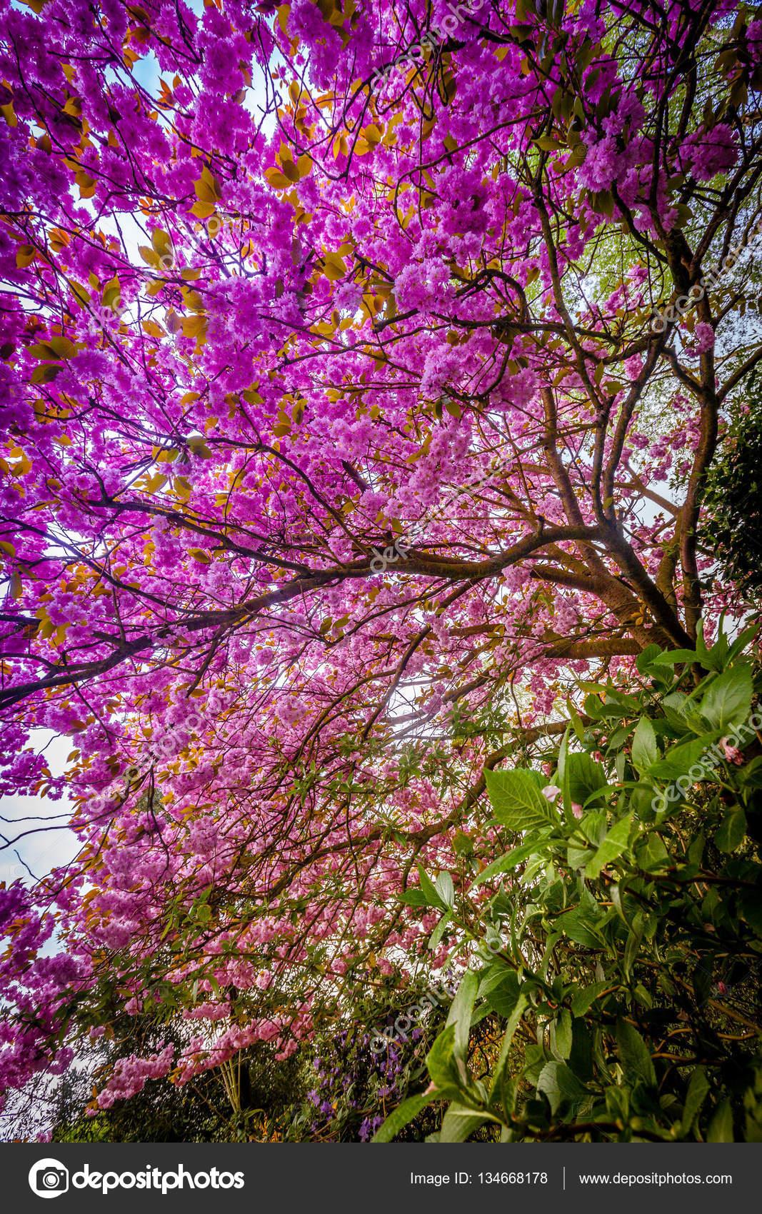 arbre fleuri violet — photographie pawopa3336 © #134668178
