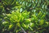 Zelená tropická rostlina z Madagaskaru