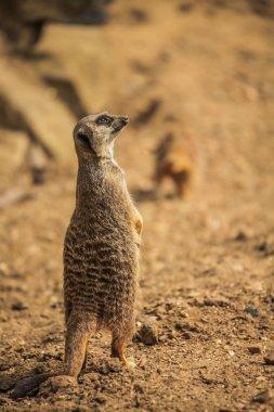 Meerkat catching sun