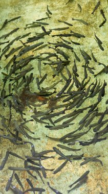 Young trouts circleing in breeding pool