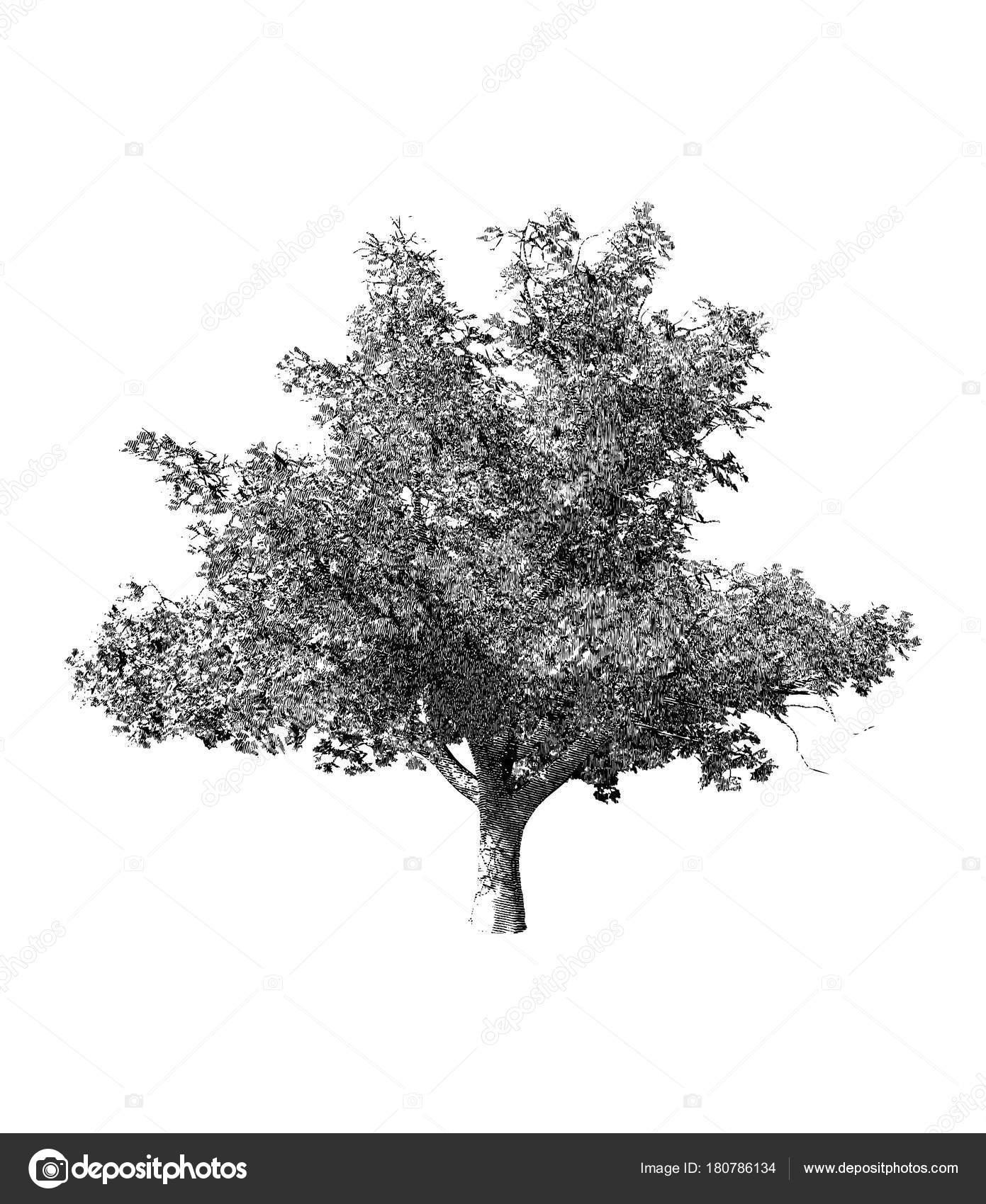 Arbre Noir Et Blanc Dessin Illustration Image Vectorielle