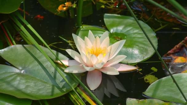 Lily flower na povrchu vody