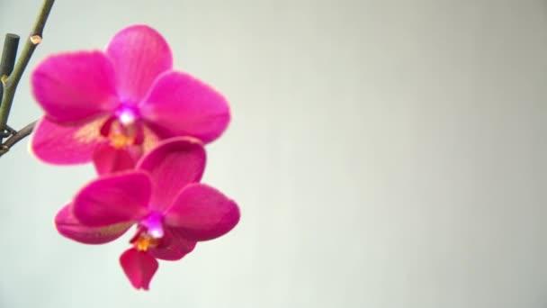 růžová orchidej na světlém pozadí