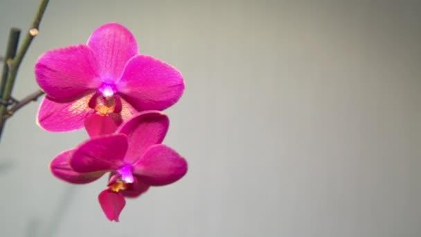 Rózsaszín orchidea a világos háttér