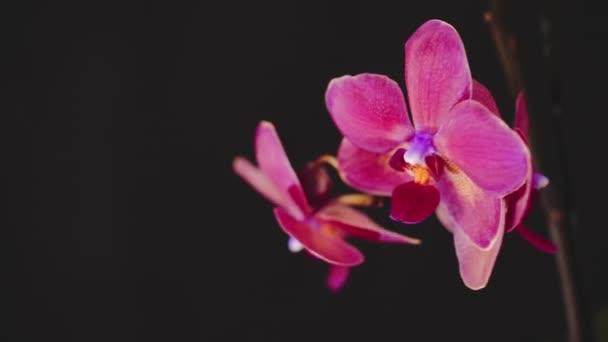 Krásná růžová orchidej na černém pozadí. Zpomalený pohyb