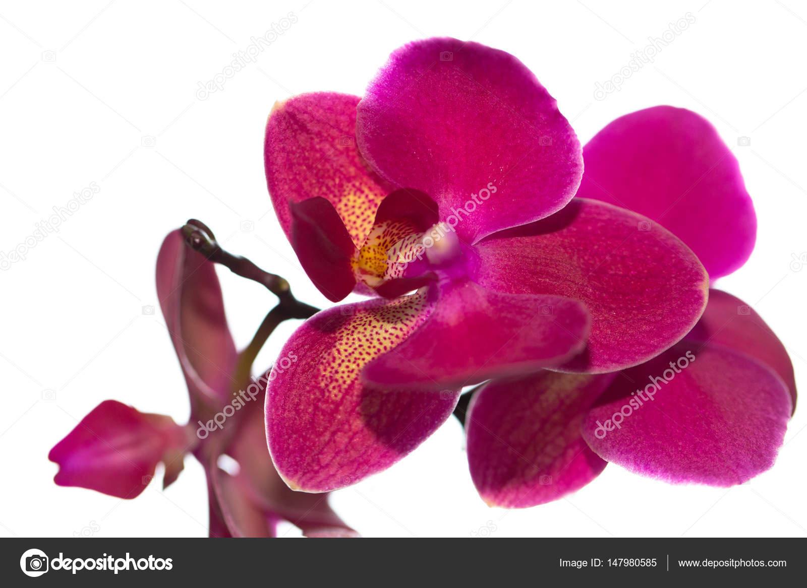 Belle Fleur D Orchidee Rose Sur Fond Clair Isole Photographie