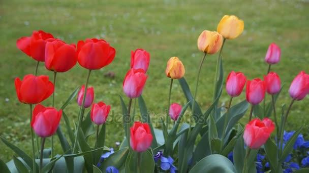 Színes tulipán. tulipánok a tavaszi, színes tulipán