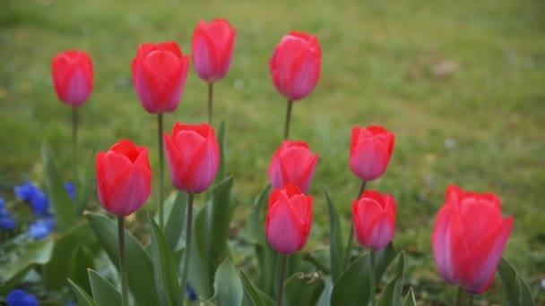 Barevné tulipány. tulipány v jaro, barevný Tulipán