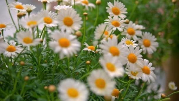 Krásný heřmánkový květ zblízka