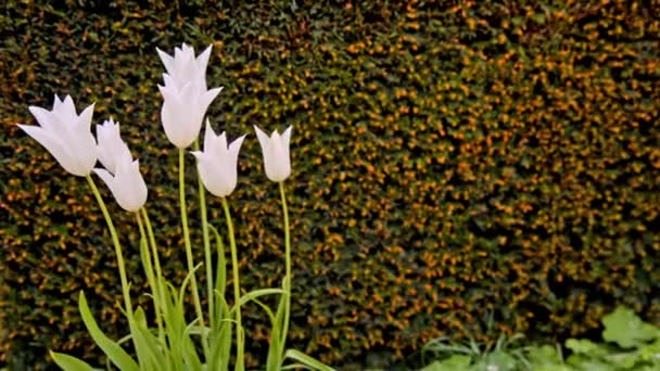 white tulips on the flowerbed