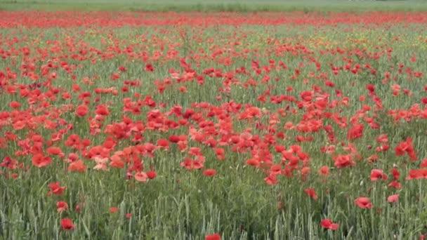 červené máky na poli, velké květy