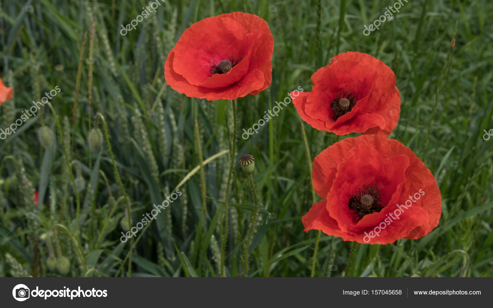 Red Poppies On The Field Big Flowers Stock Photo Andkov81