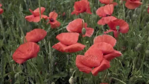 a mező, nagy virágok piros Pipacsok
