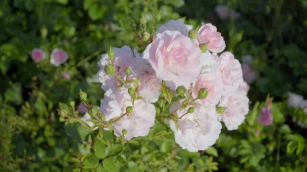 Růžové květiny na slunci