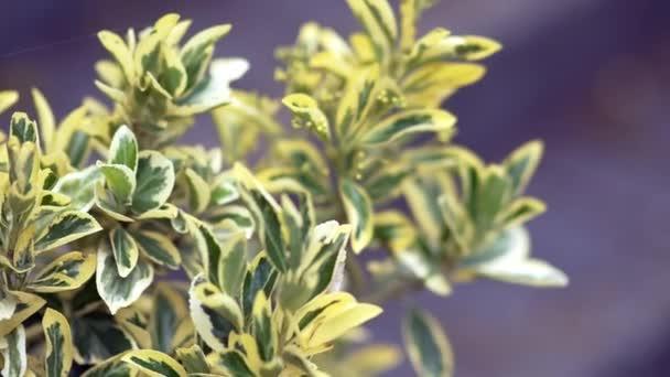 sárga-zöld levelek, lila háttér