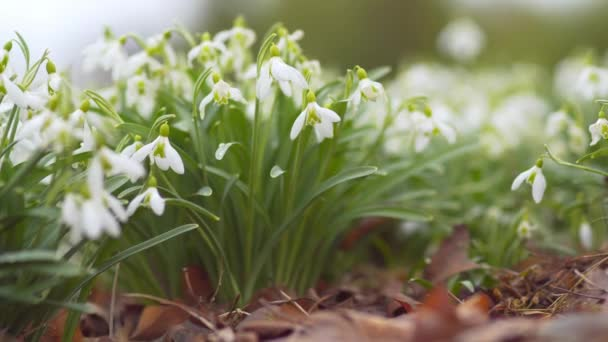 The Elwess snowdrop or greater snowdrop flowering in the spring meadow.