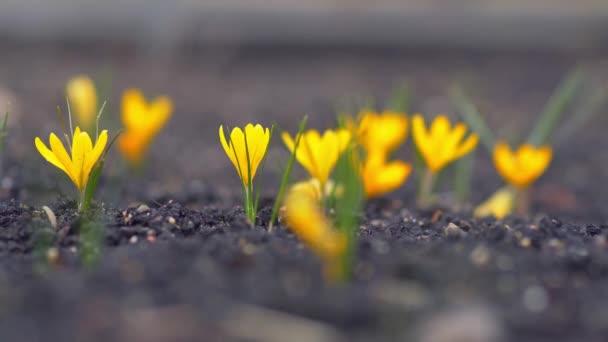 Gelbe Krokusse zittern im Wind