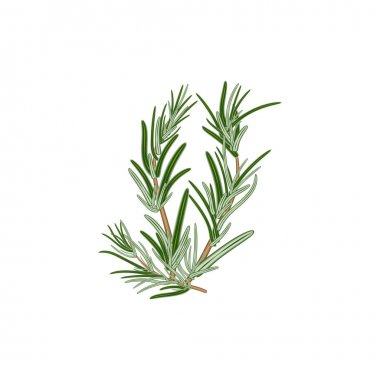 Fresh green sprigs of rosemary on a white background. For use as