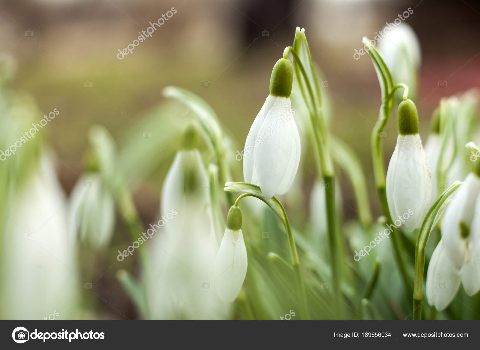 Beautiful Snowdrops First Sign Spring Snow White Flowers Shape Bell