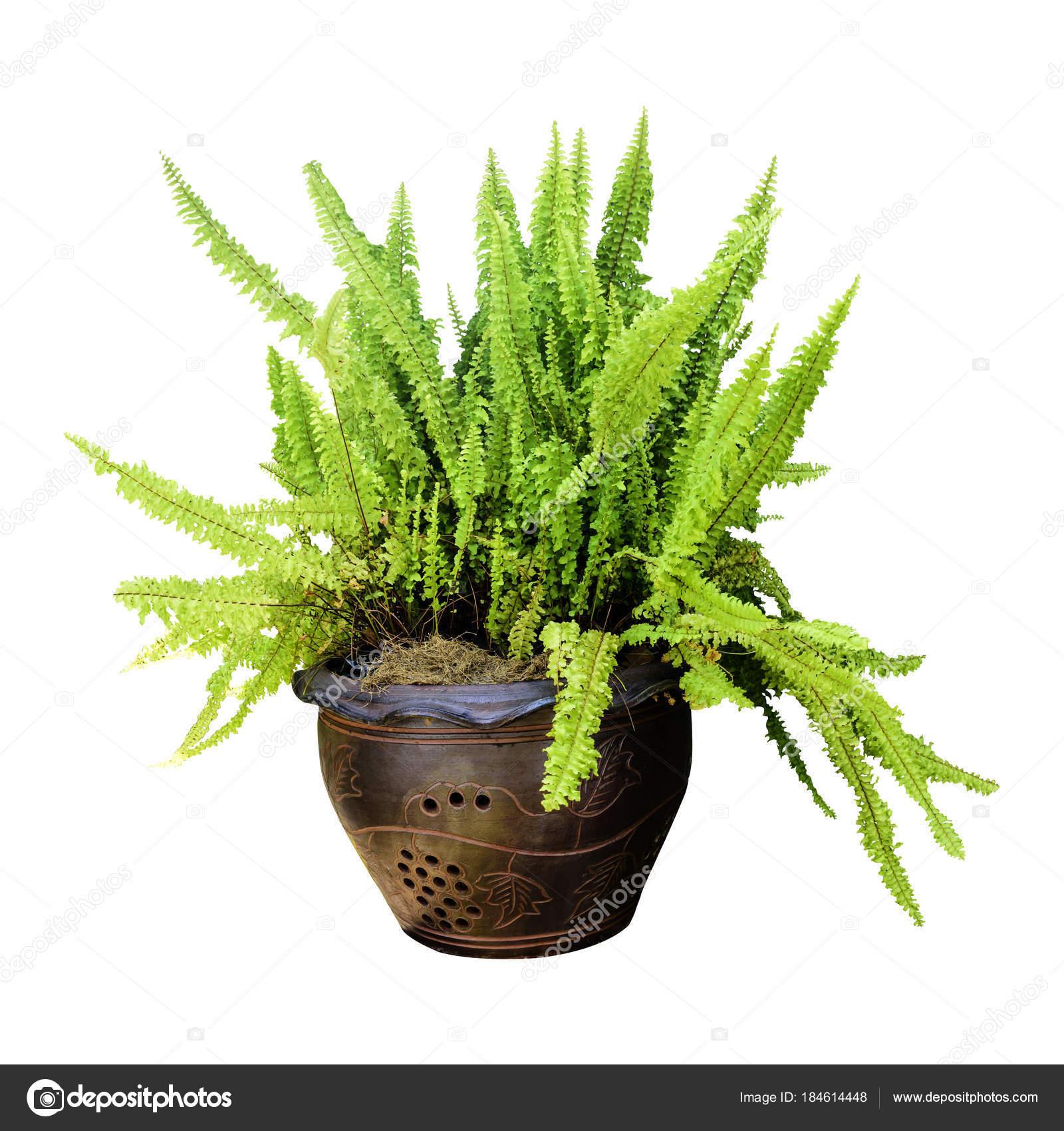 Paproć Roślina Doniczkowa Długie Zielone Białym Tle Zdjęcie