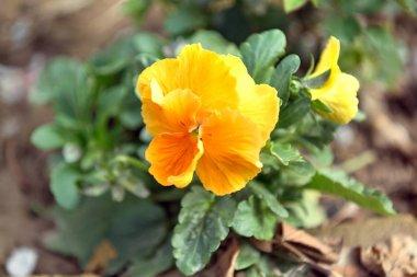Yellow garden pansy