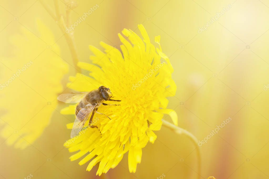 Bee insect on flower collects honey