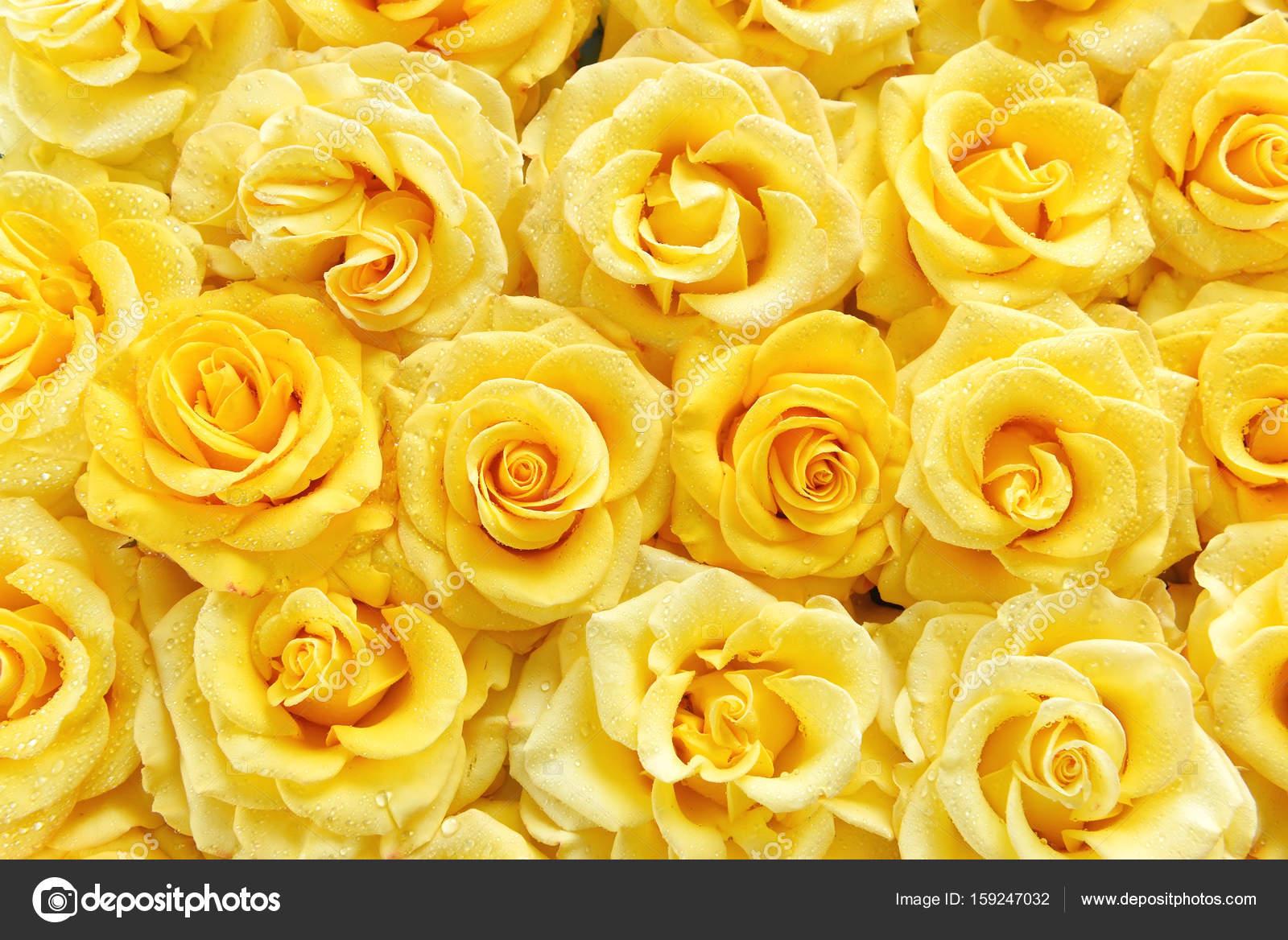 Fondo Fondos De Pantalla Rosas Amarillas Superficie De Rosas
