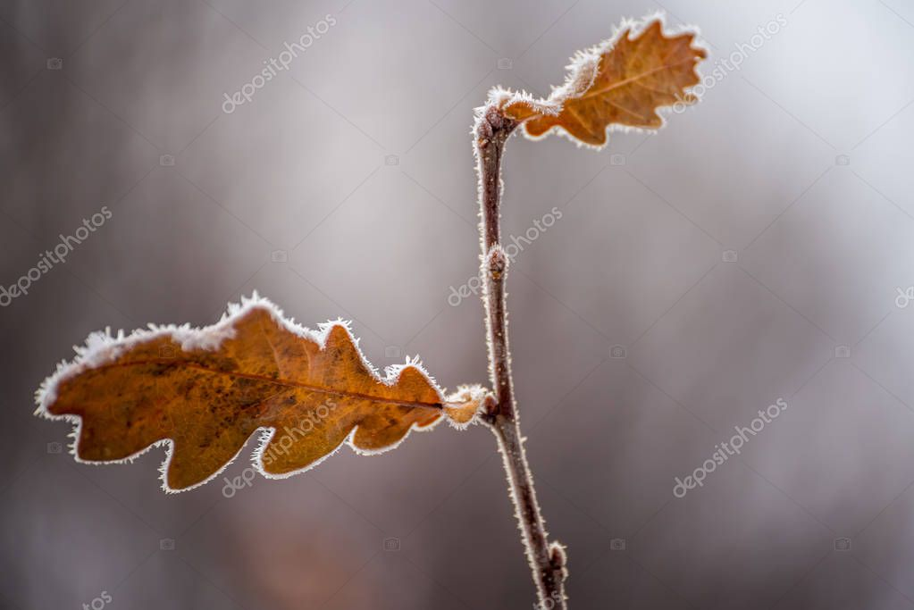 yellow dry leaves of oak on a branch covered with hoarfrost.