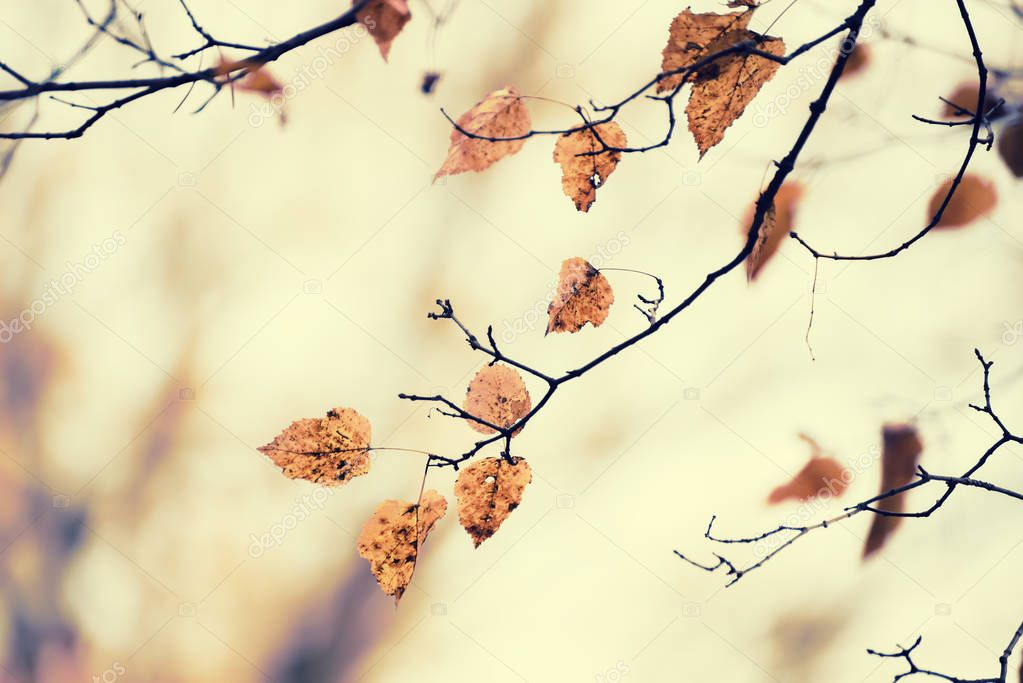 the last dry leaves on the branches of the birch.