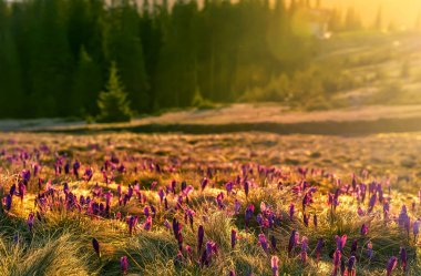 Tender spring crocus flowers of lilac saffron in a clearing in the mountains. Early morning, the first rays of the sun and a beautiful meadow with flowers. Spring wild primroses.