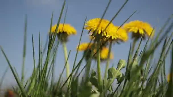 Žluté pampelišky květy mezi zelené trávy na trávníku