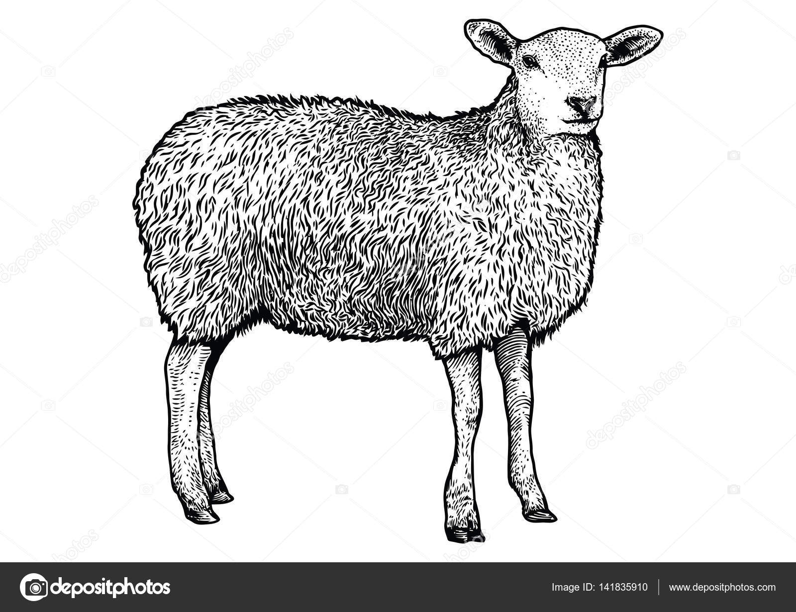 Sheep Illustration Drawing Engraving Line Art Realistic Stock Vector